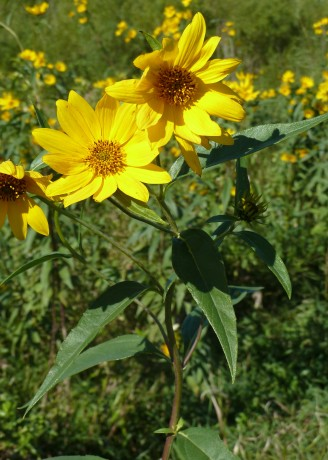 Tall Sunflower-4