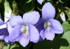 Violet-3