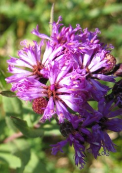 Western Ironweed 2