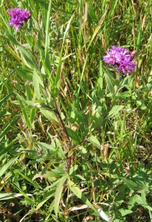 Western Ironweed 3