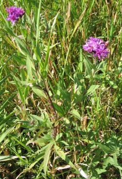 Western Ironweed 3