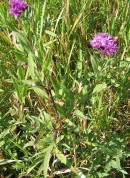 Western Ironweed 4