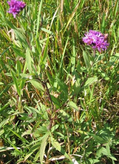 Western Ironweed 4