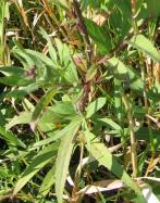 Western Ironweed 5