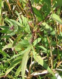 Western Ironweed 5
