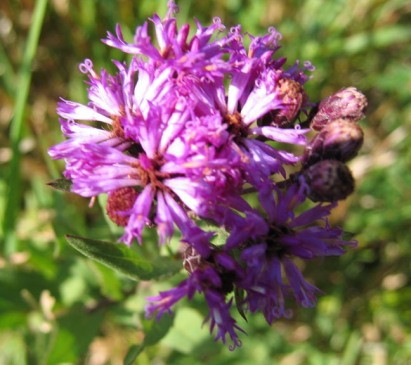 Western Ironweed