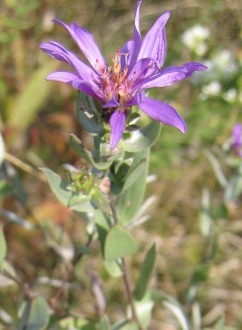 Western Silvery Aster 2