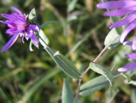 Western Silvery Aster 3