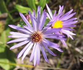 Western Silvery Aster
