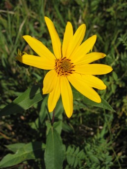 Western Sunflower 2