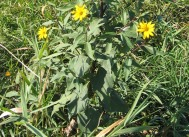 Western Sunflower 3