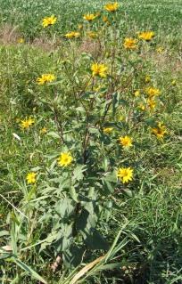 Western Sunflower