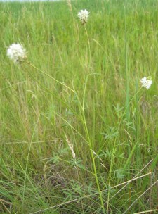 White Prairie Clover (2)