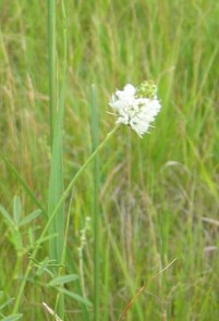 White Prairie Clover 2