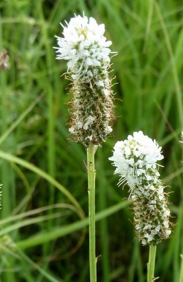 White Prairie Clover-3