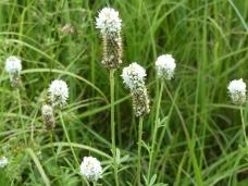 White Prairie Clover-4