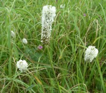 White Prairie Clover