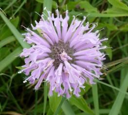 Wild Bergamot (2)