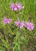 Wild Bergamot (3)