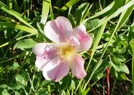 Wild Rose (2)