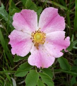 Wild Rose-2